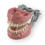 Articulated Dentoform with 32 removable, indexed teeth, hard gingiva and with spring-joint articulator