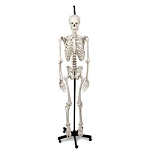 Human Skeleton, Hanging, Natural Cast