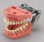 Articulated Dentoform with inclined curve of Spee; 32 removable teeth and spring-joint articulator