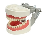 Spring-joint Articulated Dentoform with 32 removable, indexed teeth, soft vinyl gingival facings and spring-joint articulator