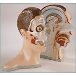 Bisected Head (5 Parts)