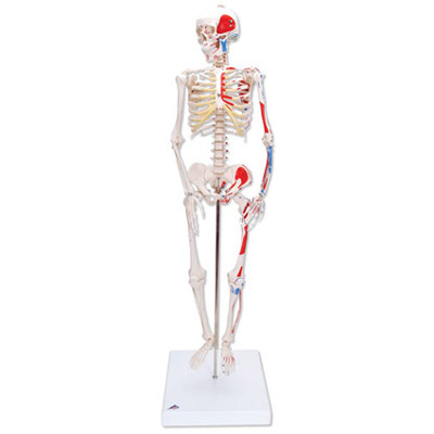 Mini Human Skeleton with Painted Muscles
