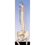 Classic Flexible Spine with Femur Heads