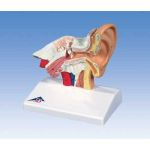Advanced Giant Ear (3X Life-Size, 6-Part)