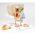 Auditory Ossicles (Embedded Model, Life-Size)