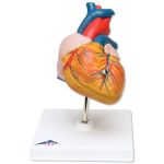 Heart with Bypass (2X Life-Size, 4-Part)