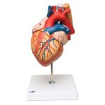 Heart (2X Life-Size, 4-Part)