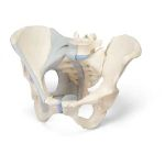 Female Pelvis with Ligaments (3-Part)