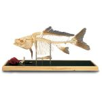 Fish Skeleton in Plastic Case (Plexi-Glass Case)