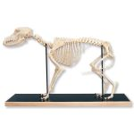 Dog Skeleton in Glass Case