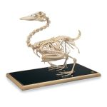 Duck Skeleton