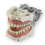 Articulated Dentoform with 32 removable teeth, soft vinyl gingival facings, and spring-joint articulator (replacement)