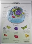 Animal Cell Raised Relief Chart