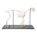 Domestic Sheep Skeleton, Specimen