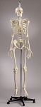 Premier Skeleton w/Female Pelvis Hang up Mount