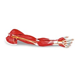 Life-Size Arm Muscle, 7-Parts