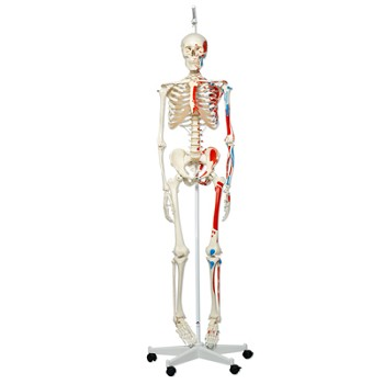 Max the Muscle Skeleton with Hanging Roller Stand