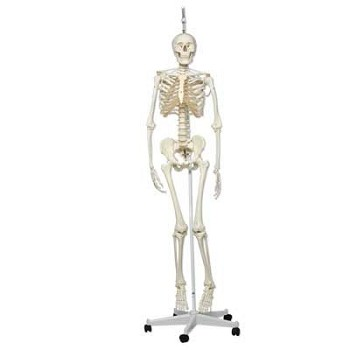 """Frank"" the Functional Human Skeleton"