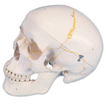 Numbered Human Classic Skull Model (3-Part)