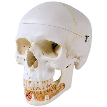 Classic Human Skull Model with Opened Lower Jaw (3-Part)