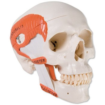 TMJ Human Skull Model with Masticator Muscles (2-Part)