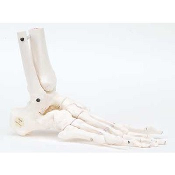 Foot Skeleton with Portions of Tibia & Fibula (Flexible, Right)