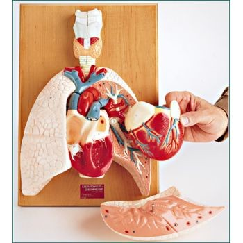 Cardiopulmonary System (Heart and Respiratory Organs)