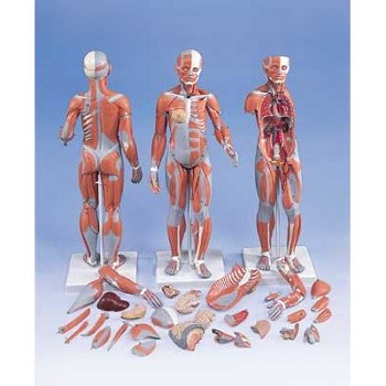 Complete Dual Muscle Figure with Internal Organs (1/2 Life-Size)