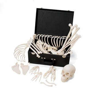 Complete Disarticulated Skeleton
