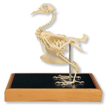 Dove Skeleton in Glass Case